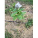 Baiano Tobacco Seeds (+500) nicotiana tabacum