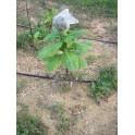 prizat semințe BAIANO (+500) nicotiana tabacum